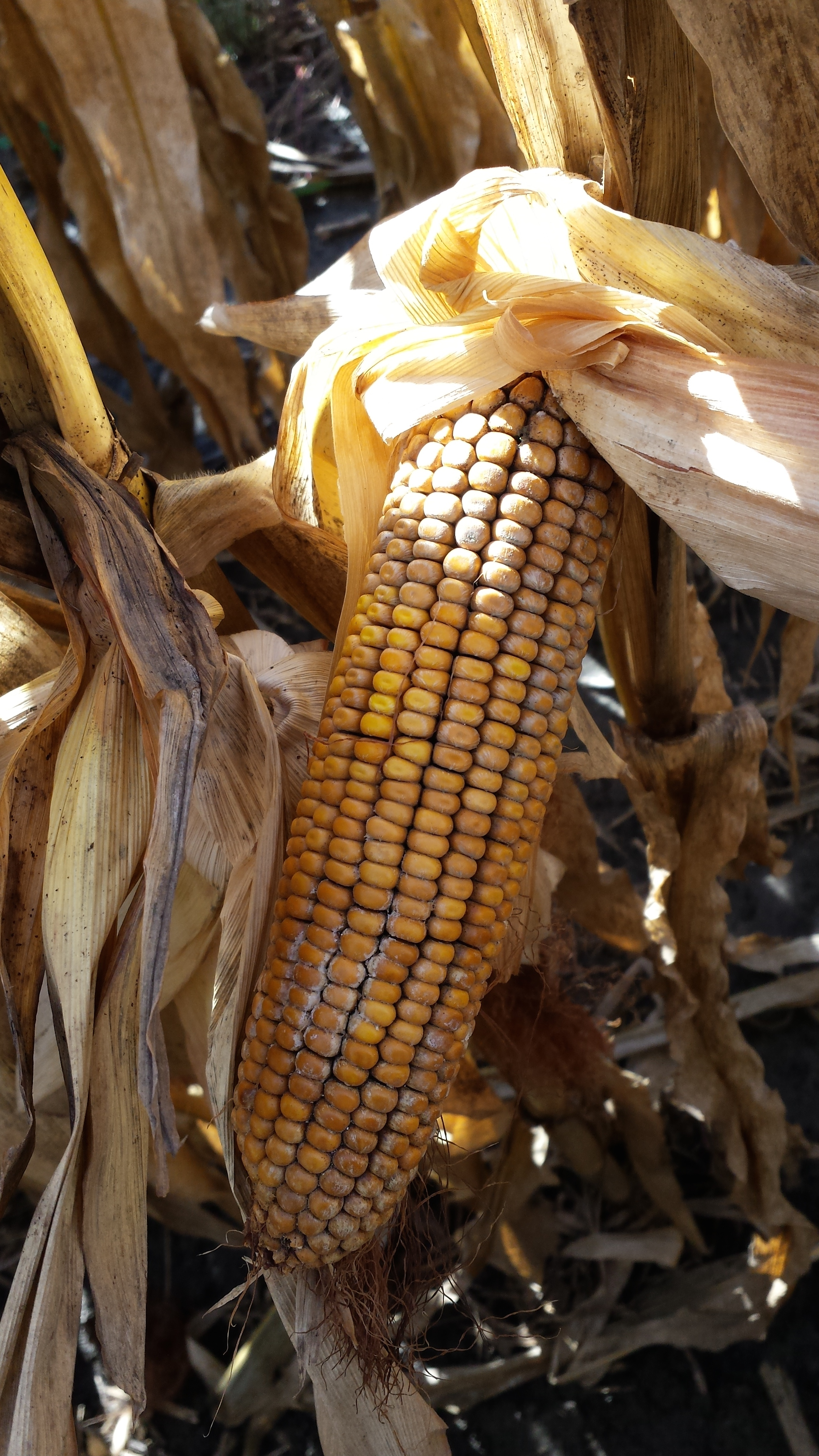 Figure 2. Brown discoloration on ears can also indicate presence of Diplodia ear rot.