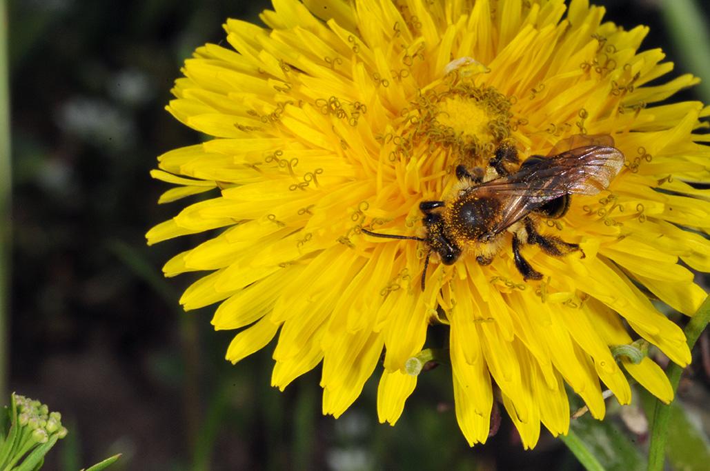 Solitary bee on dandelion.