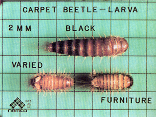 Clothes Moths and Carpet Beetles