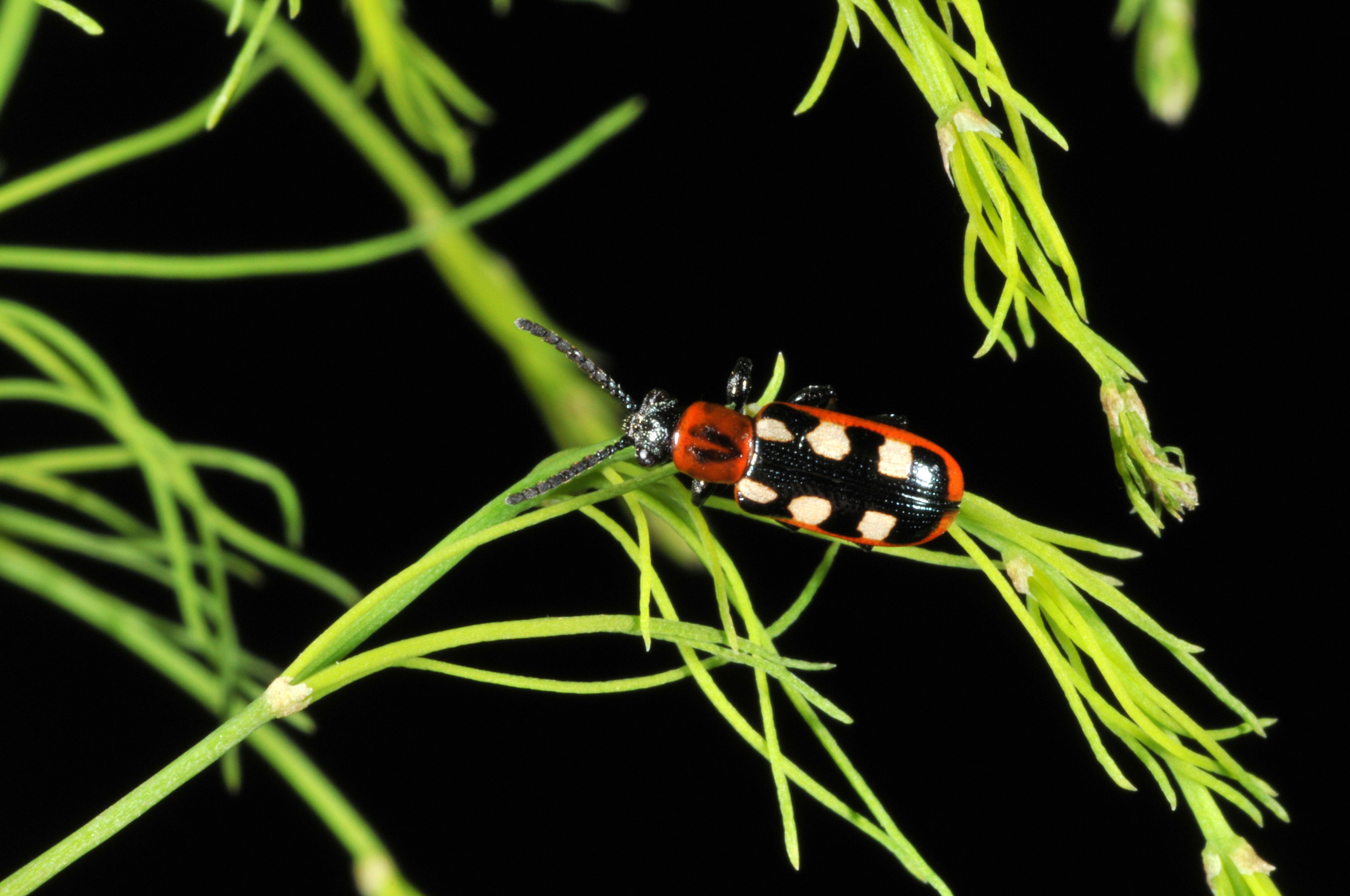 Asparagus Beetle Control: Managing Insects In The Home Vegetable Gardens