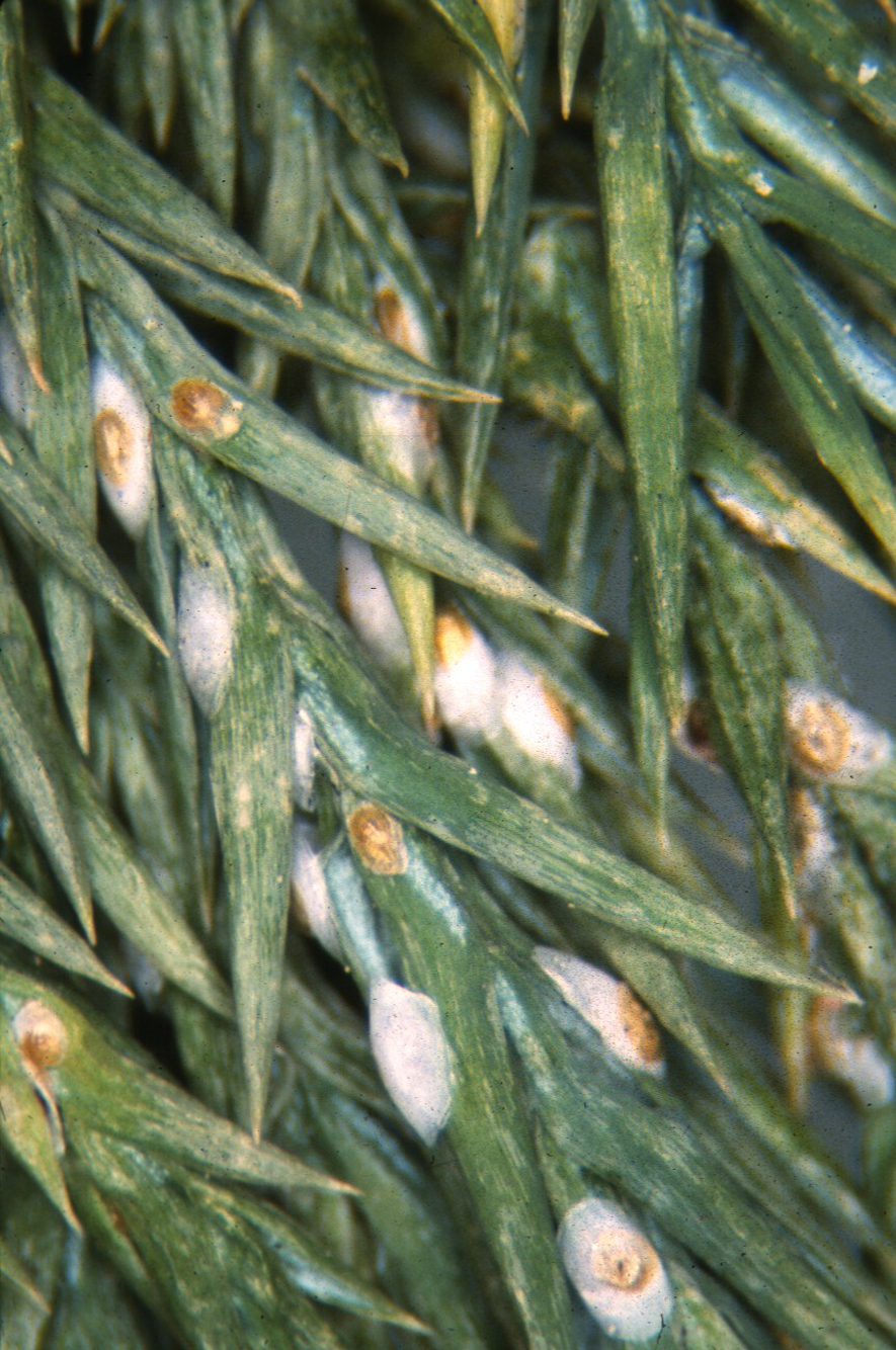 Scale insects on shade trees and shrubs for The juniper
