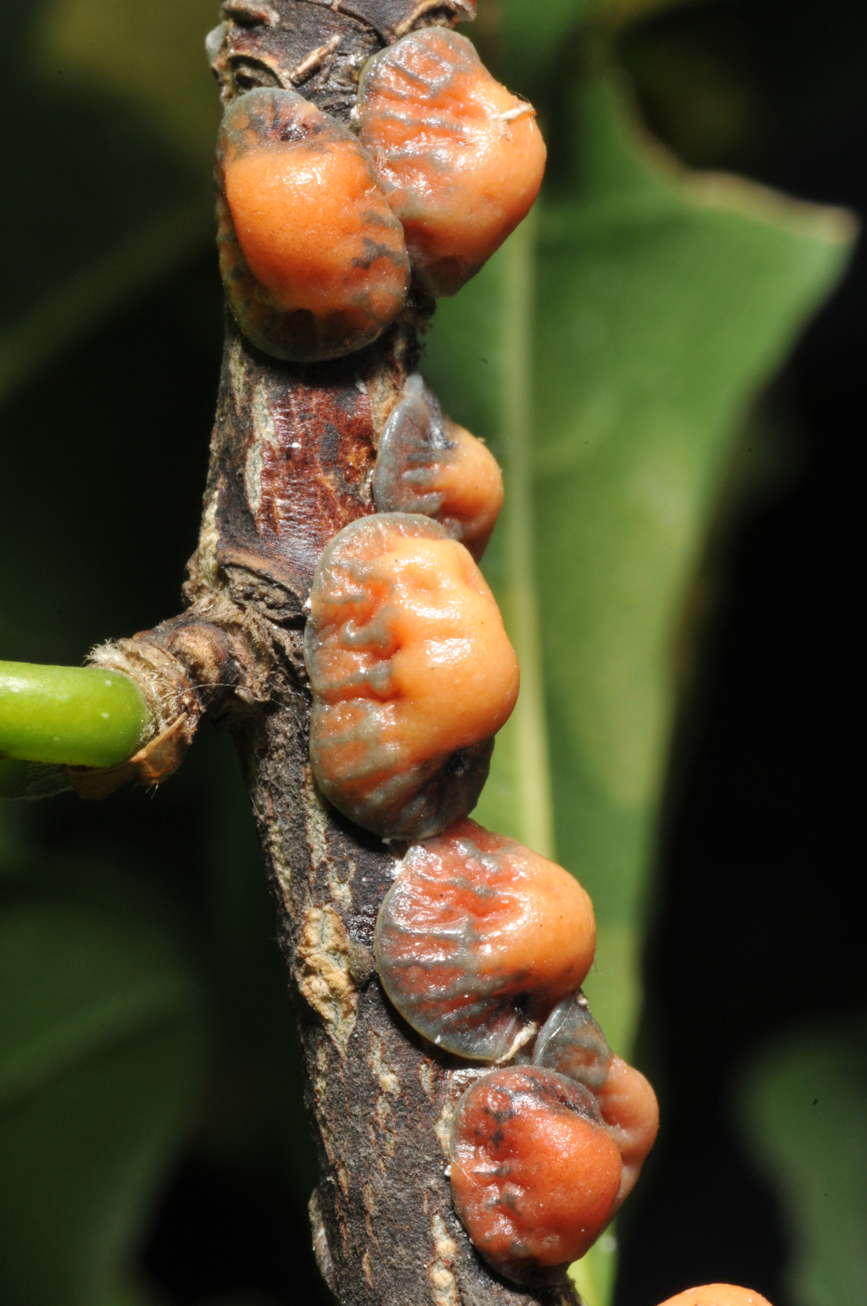 Scale Insects On Shade Trees And Shrubs