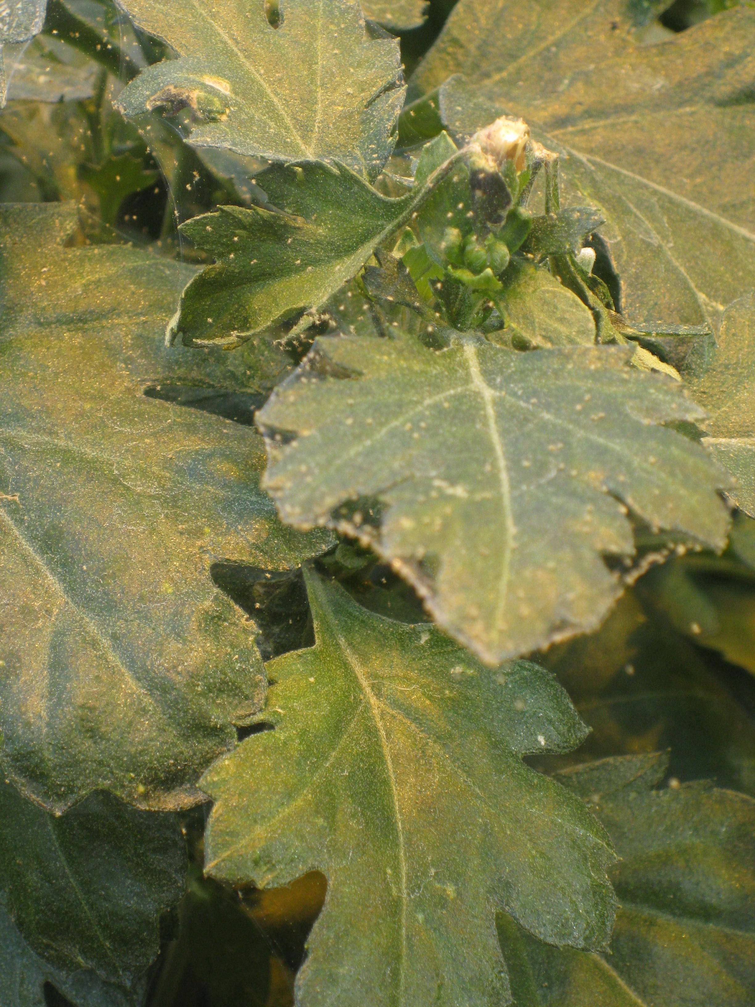 Houseplants üzerinde örümcek akarı