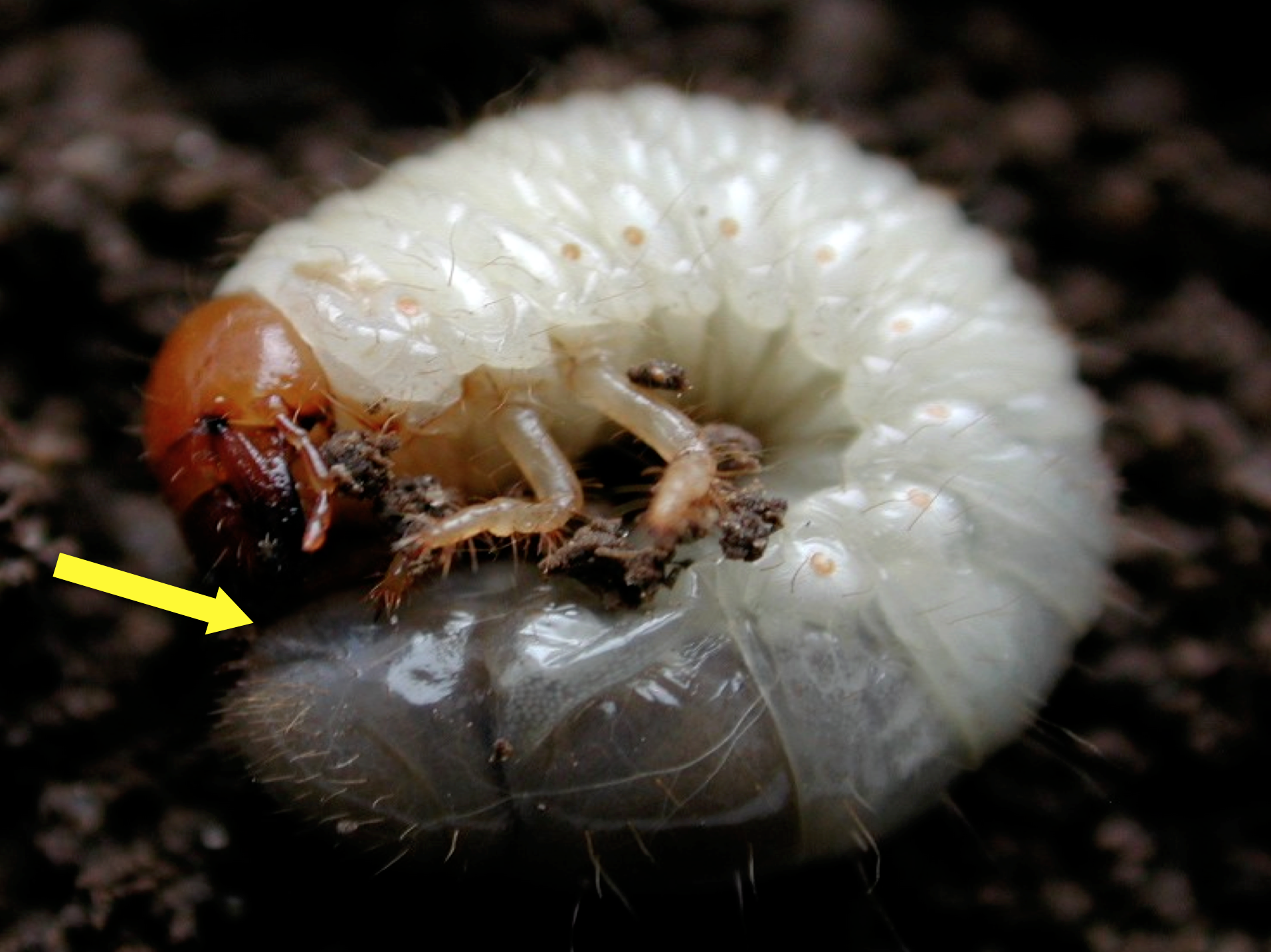 Integrated Management Of Turfgrass Insects