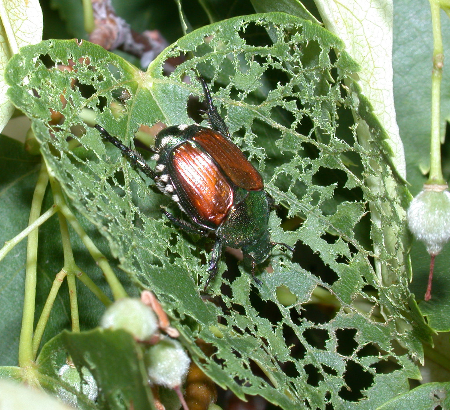 Japanese Beetles In The Urban Landscape