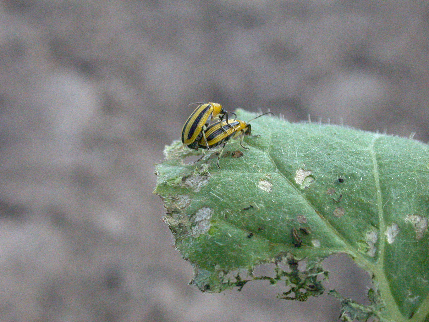Managing Striped Cucumber Beetles On Cantaloupe And Watermelon Yes i can because cantaloupe can either be plant;animal and fungi which where eaten by human being. striped cucumber beetles on cantaloupe