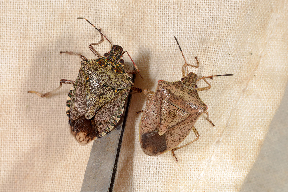 Brown marmorated stink bug (left) compared to native brown stink bug (right).