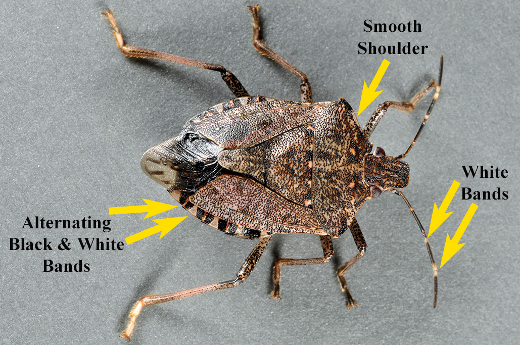 Diagnostic characters of the brown marmorated stink bug Pentatomidae: Halyomorphoa halys).