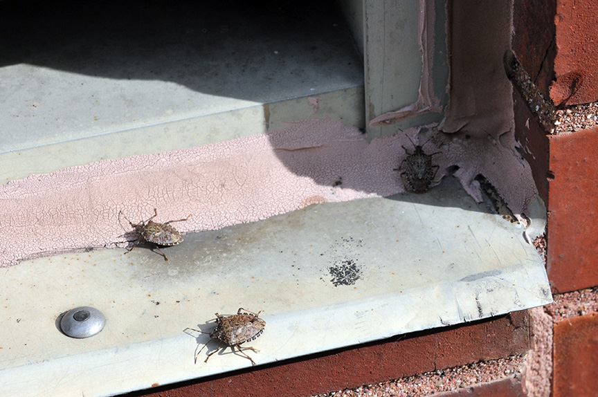 Brown marmorated stink bugs attracted to windows during late summer and fall.