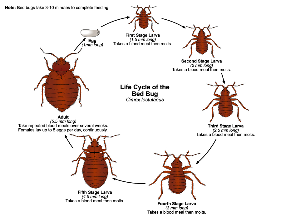 Bed Bugs | Public Health and Medical Entomology | Purdue | Biology | Entomology | Insects ...