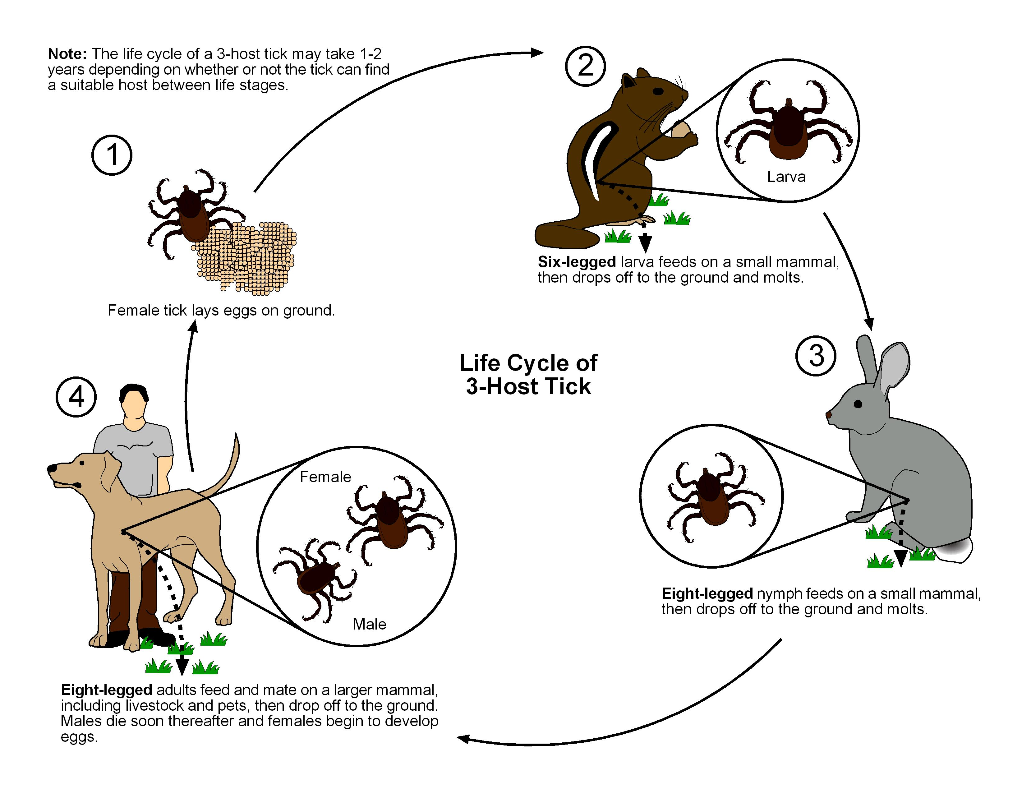 Resources public health and medical entomology purdue biology 3 host tick lifecycle ccuart Images