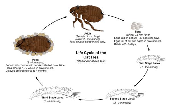 Cat Flea Life Cycle Control
