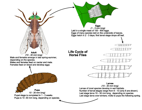 Horsefly Larvae Summarized life cycle of horse