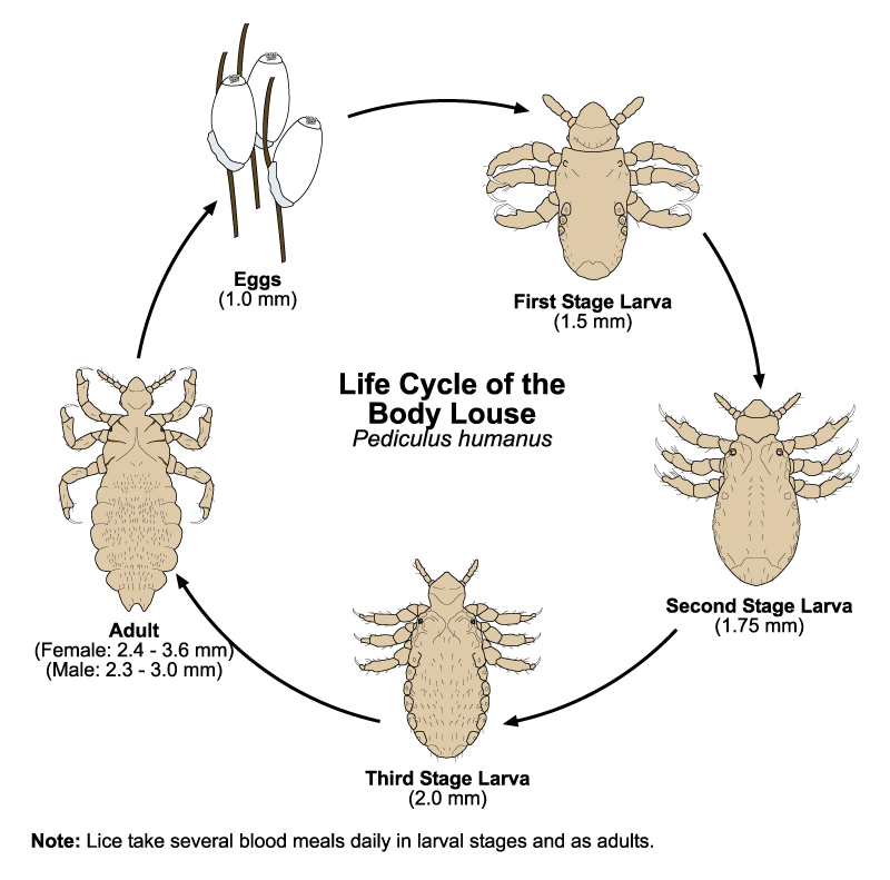 Lifecycle of the Body Louse
