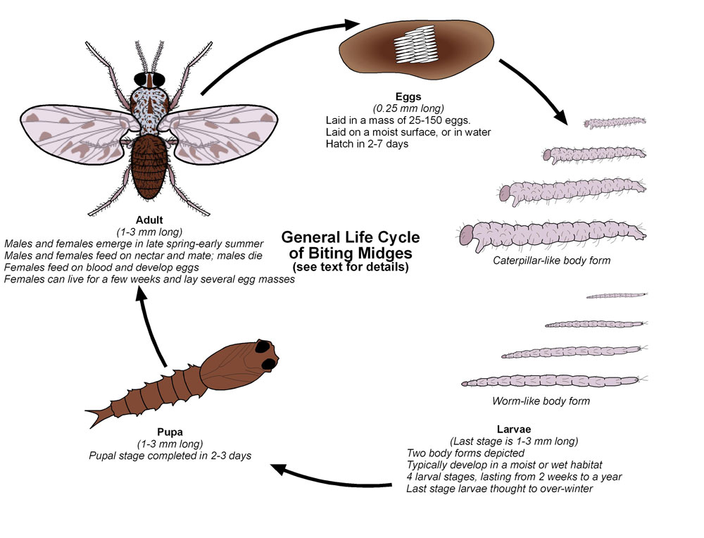 Biting Midges | Public Health and Medical Entomology