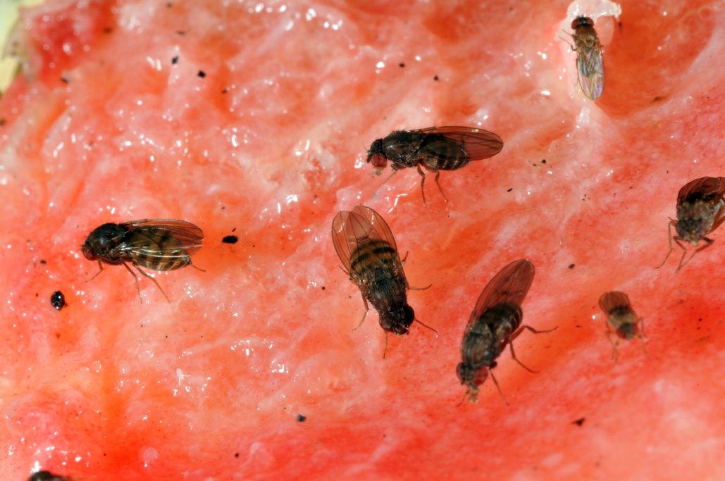 Cluster Flies Control Nz Vinegar Fly Larvae Relocating
