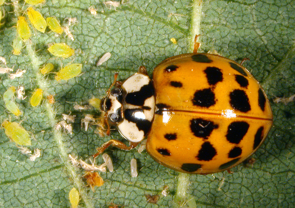 Asian lady beetle food