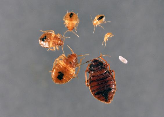 Pics Of Bed Bug Larvae