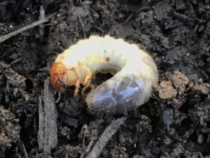 Managing White Grubs Thumbnail